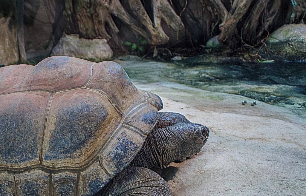 seychelles-giant-tortoises-854045_1280