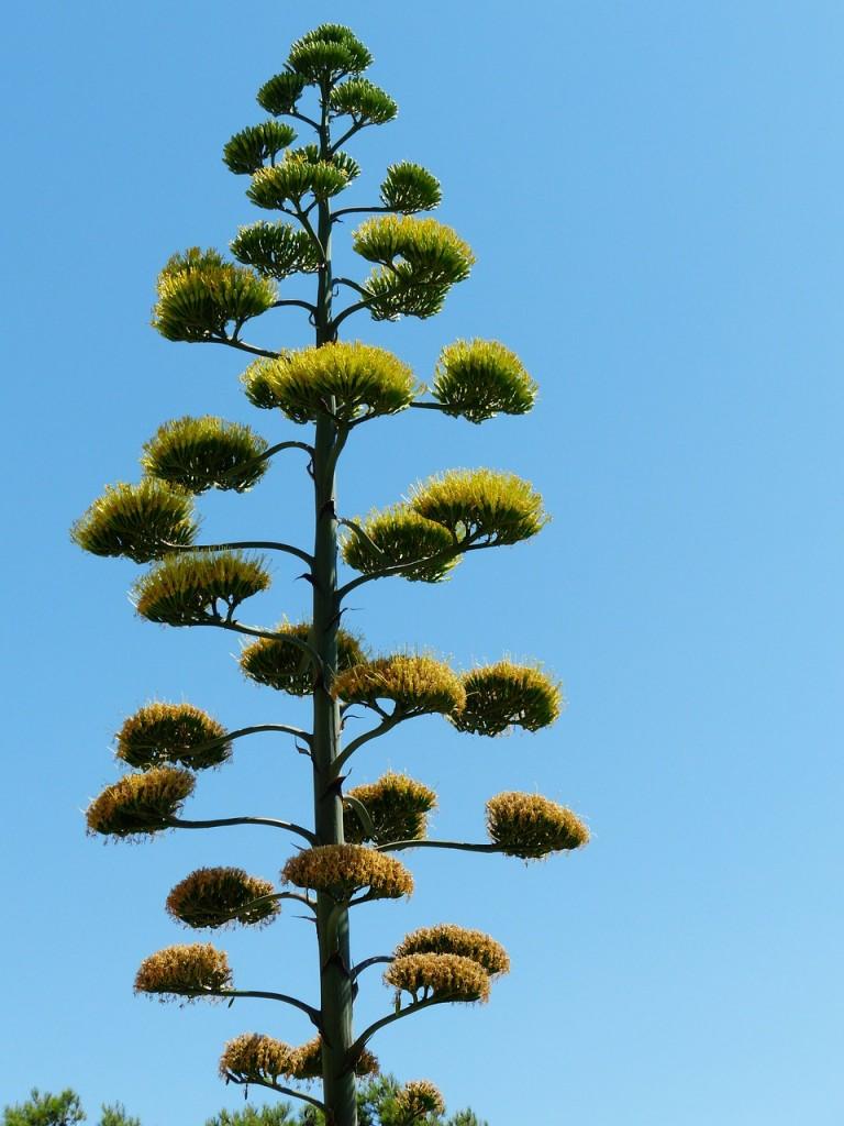 agave-186373_1280