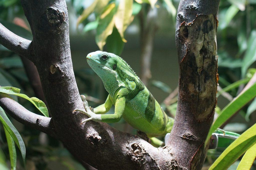banded-fiji-iguana-885596_1280