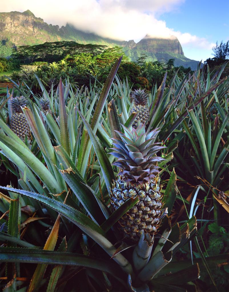 pineapple-669456_1280
